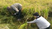 [長野]2013稲刈り体験&食養生ワークショップ